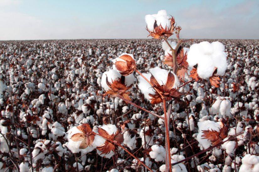 A diferença entre algodão orgânico e sustentável
